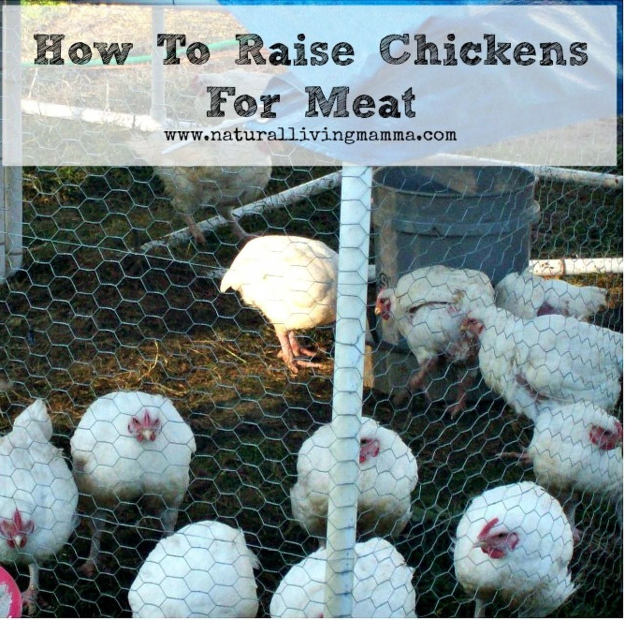 Simple Steps To Raising Turkey Meat On Your Own