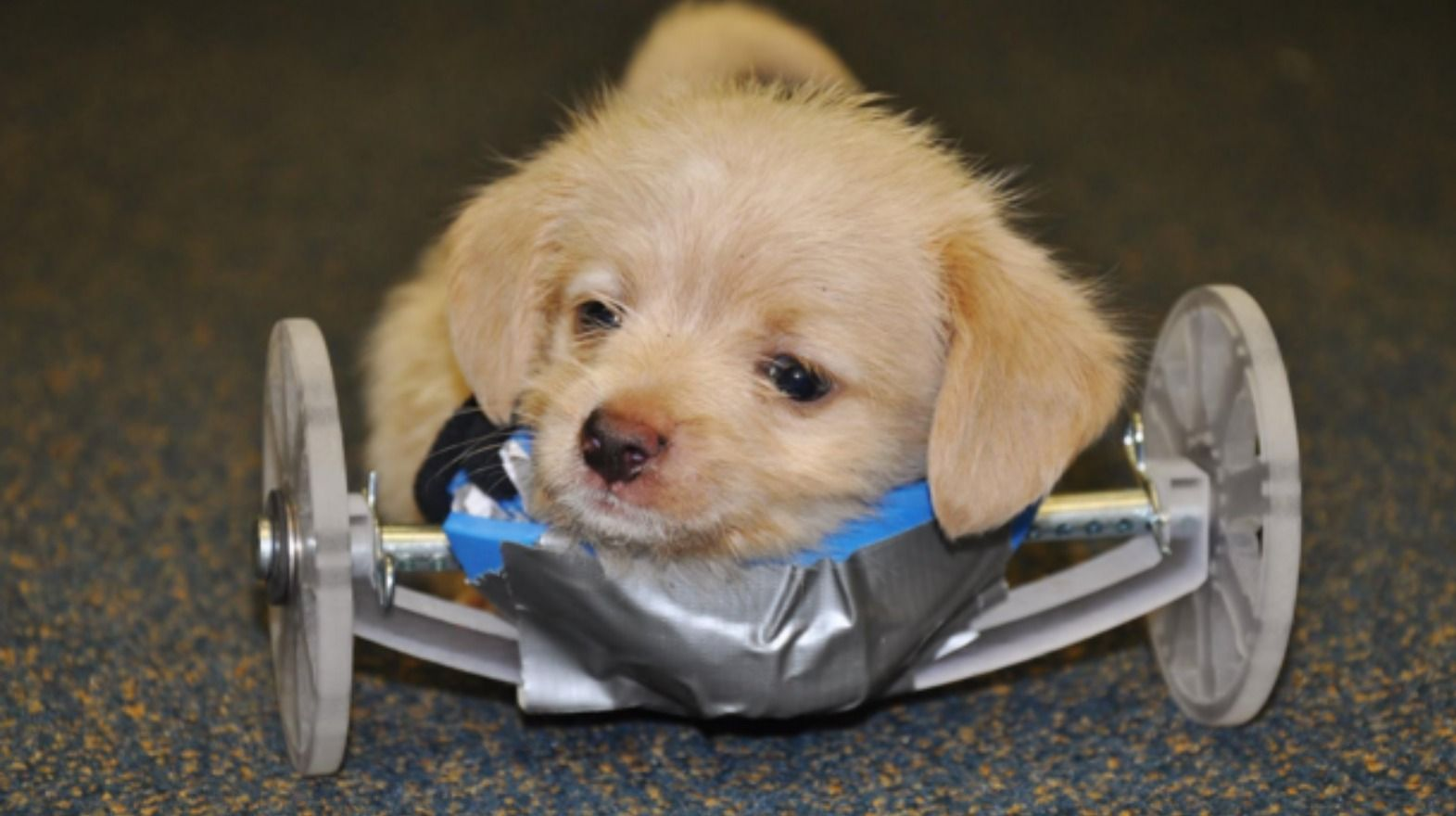 Tumbles the twolegged puppy gets 3Dprinted wheelchair