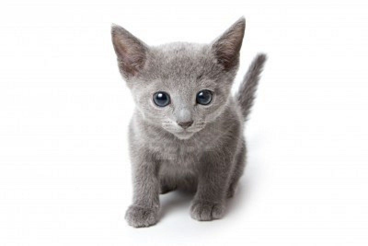 What Kind Of Cat Breed Are You Russian Blue Kitten Russian