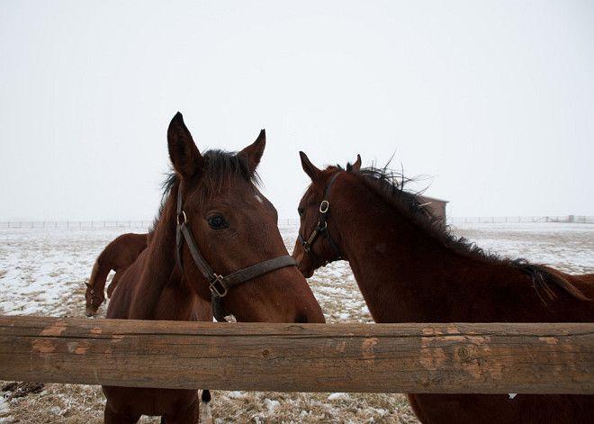 Horses. Horses on Snow. Brown horses on snow. #Horses #Snow Designs Northwest Architects.