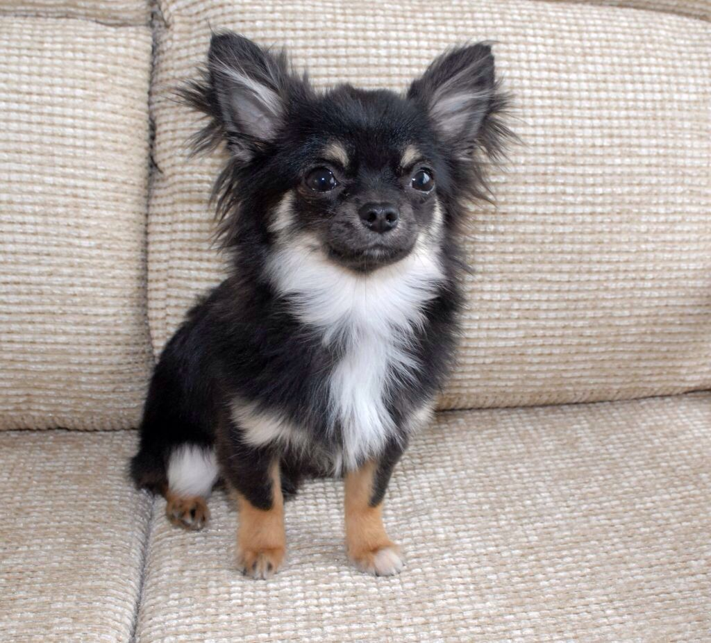 Black and Tan longhair chihuahua Chihuahua, Very cute