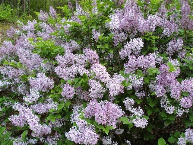 lilacs front split rail