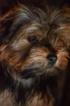 Morkie Puppies For Sale In Arkansas Ar Teacup Tiny Toy Miniature And Imperial Morkie Puppies For Sale In In 2020 Puppies For Sale Morkie Puppies Miniature Puppies
