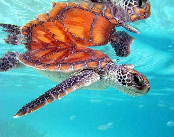 Swimming with sea turtles..