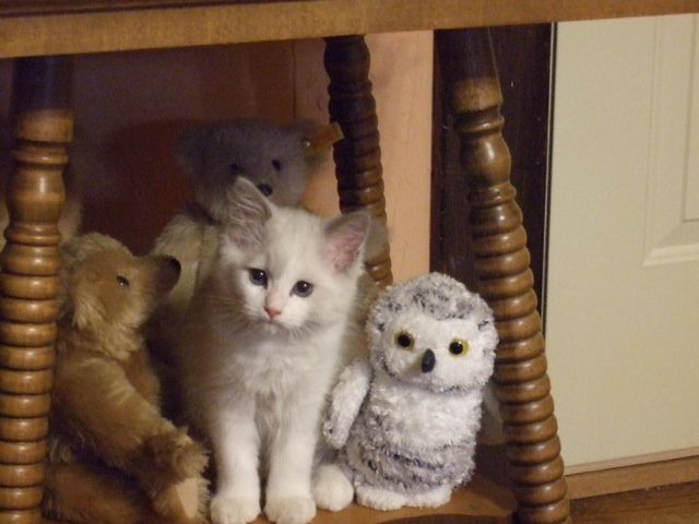 savannahcheetoh animals in americanlisted nebraska pets kitten male savannah kittens sale ne lincoln for cheetoh