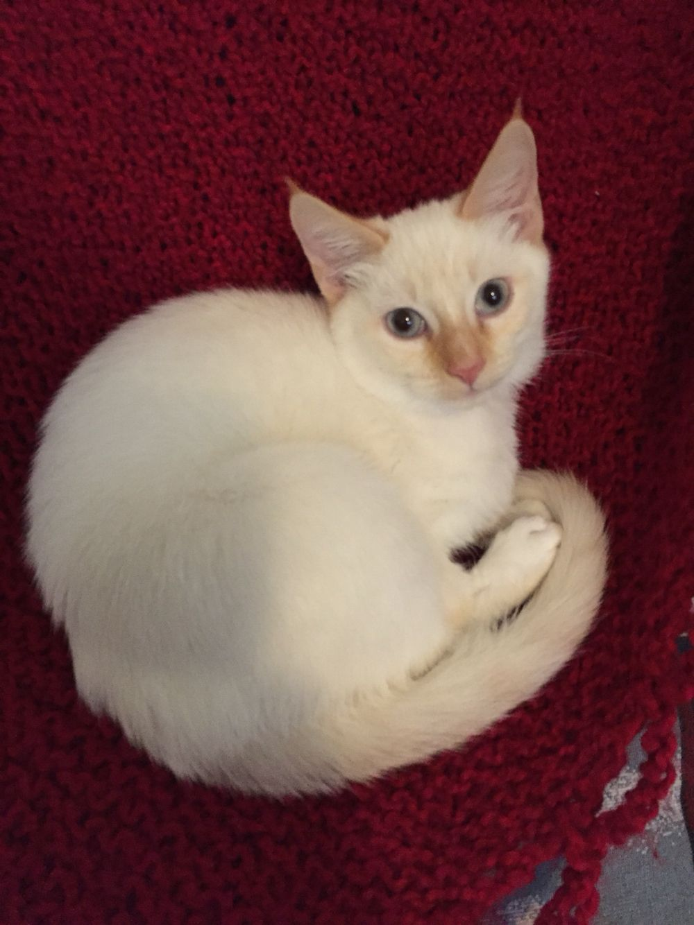 Flame Point Siamese Kitten Siamese Cats Siamese Cats Blue Point