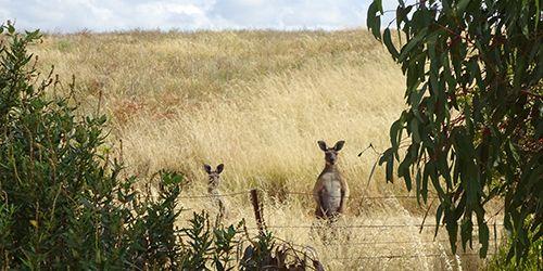 Kangaroos, Lot 50_Malone, McLaren Vale, SA