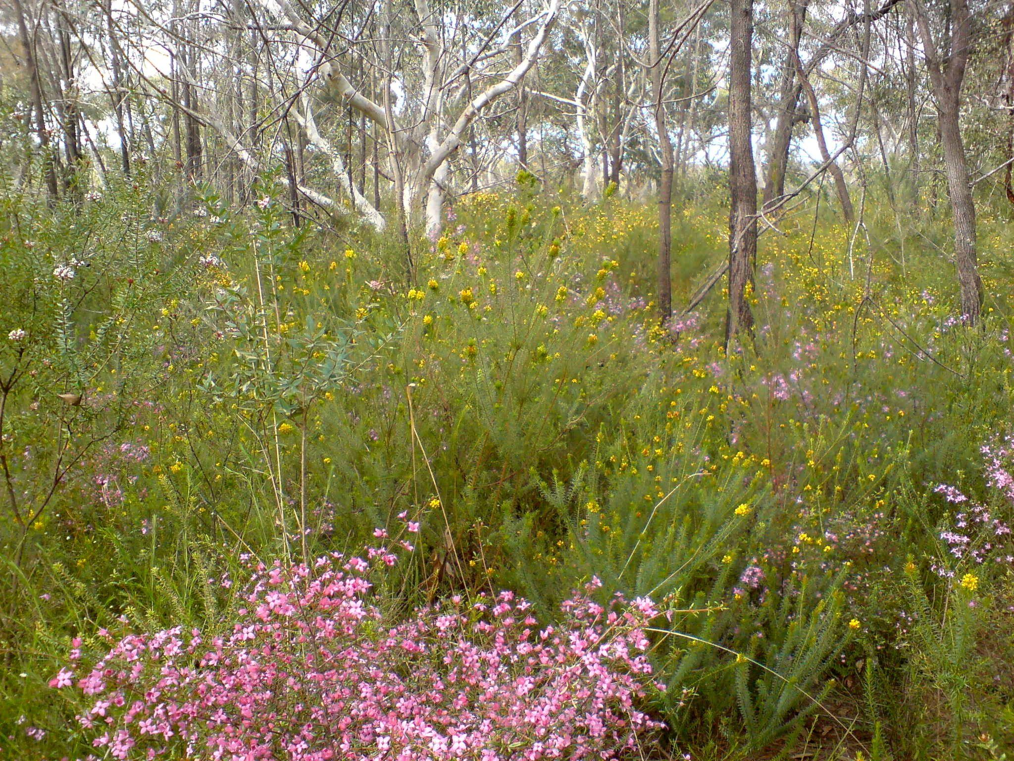 Beautiful Low Open Woodland, near Hornsby, Sydney