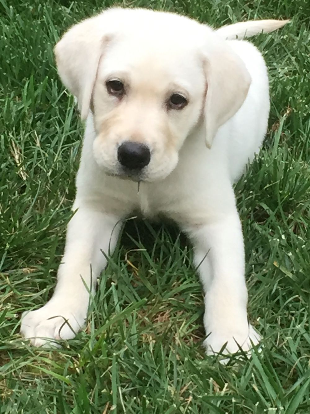 Our Sweet Gal White Lab Puppy Puppies White Lab Puppies