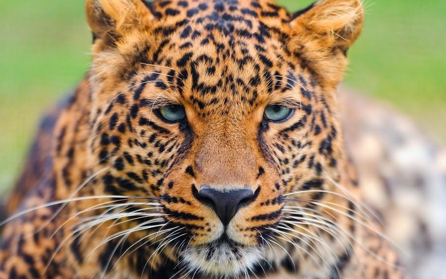 Leopard Google+