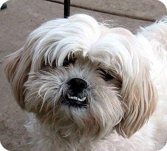 Oakley Ca Shih Tzu Lhasa Apso Mix Meet Bess A Dog For Adoption