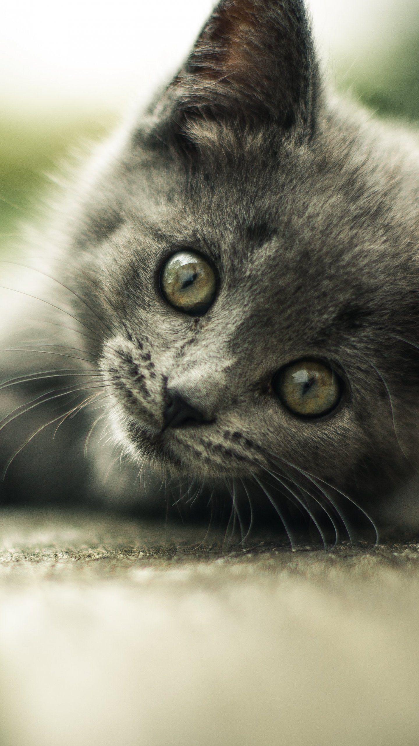 Gray Kitten Wallpaper Iphone Android Desktop Backgrounds Grey Kitten Cat Care Cats
