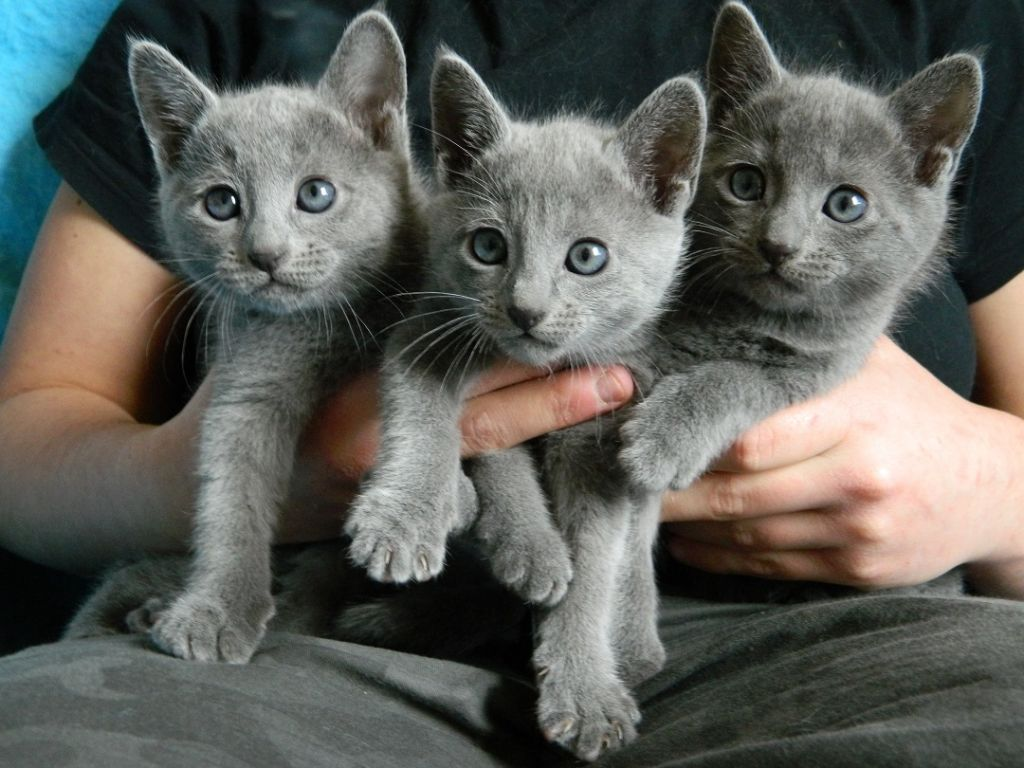 Russian Blue Kittens. Russian Blue Cat Breed
