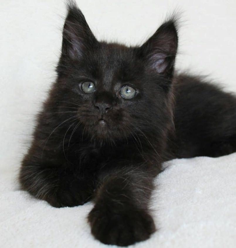 135 Black Boy Cat Names Boy Cat Names Cat Names Cats