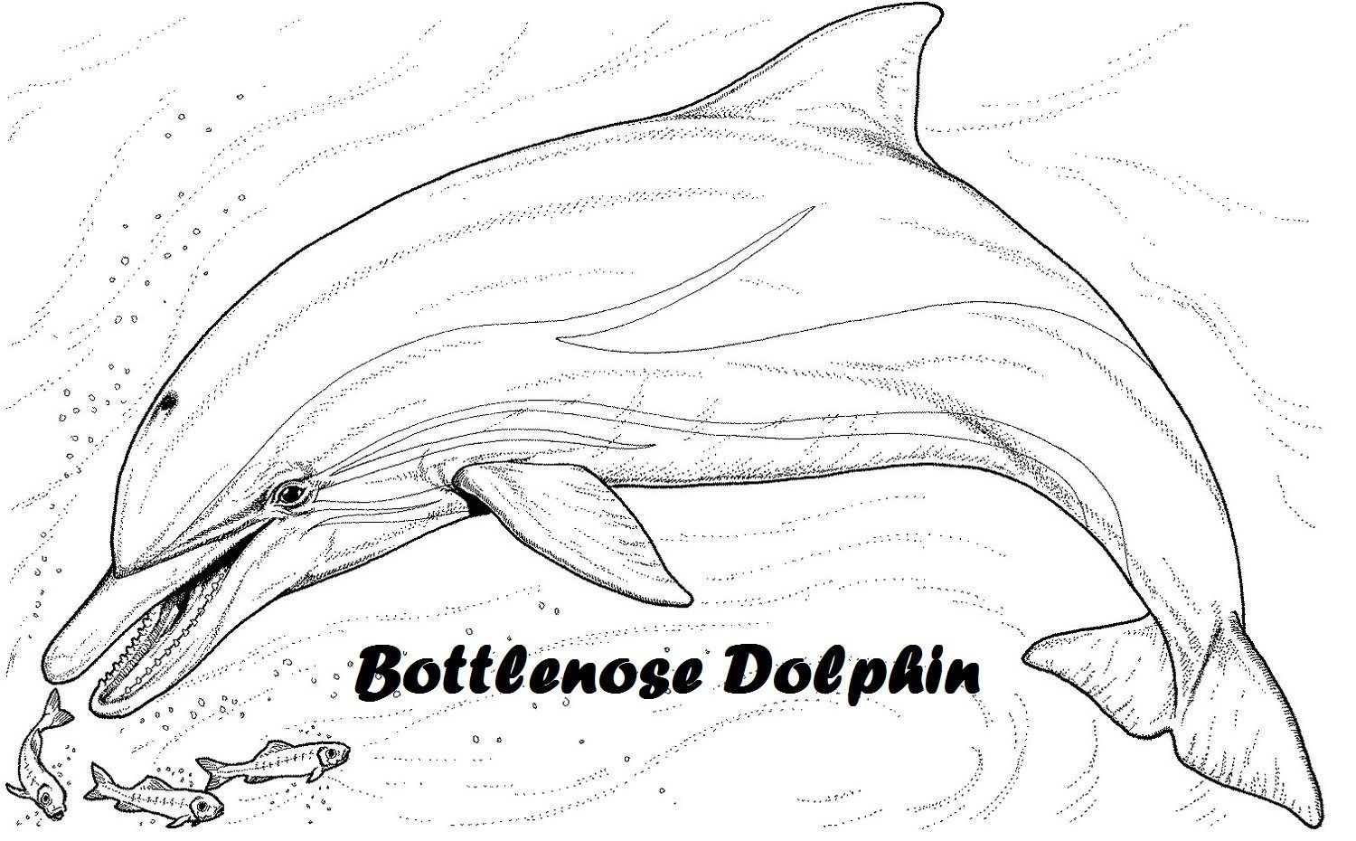 Bottlenose Dolphin Clip Art Dolphin Coloring Pages Fish