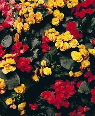 Shade Loving Northern Exposure Potting Plants Tuberous Begonia Flowers Perennials Fresh Flowers Arrangements