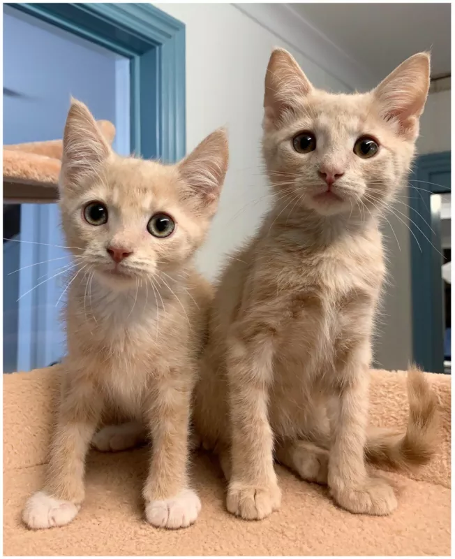 Adorable Rescue Kittens Need Homes! EATONS HILL VET Cats