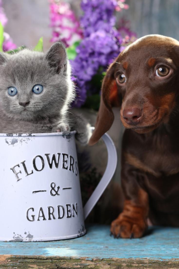 Puppy Dachshund And Kitten Scottish Fold Dachshund Puppy