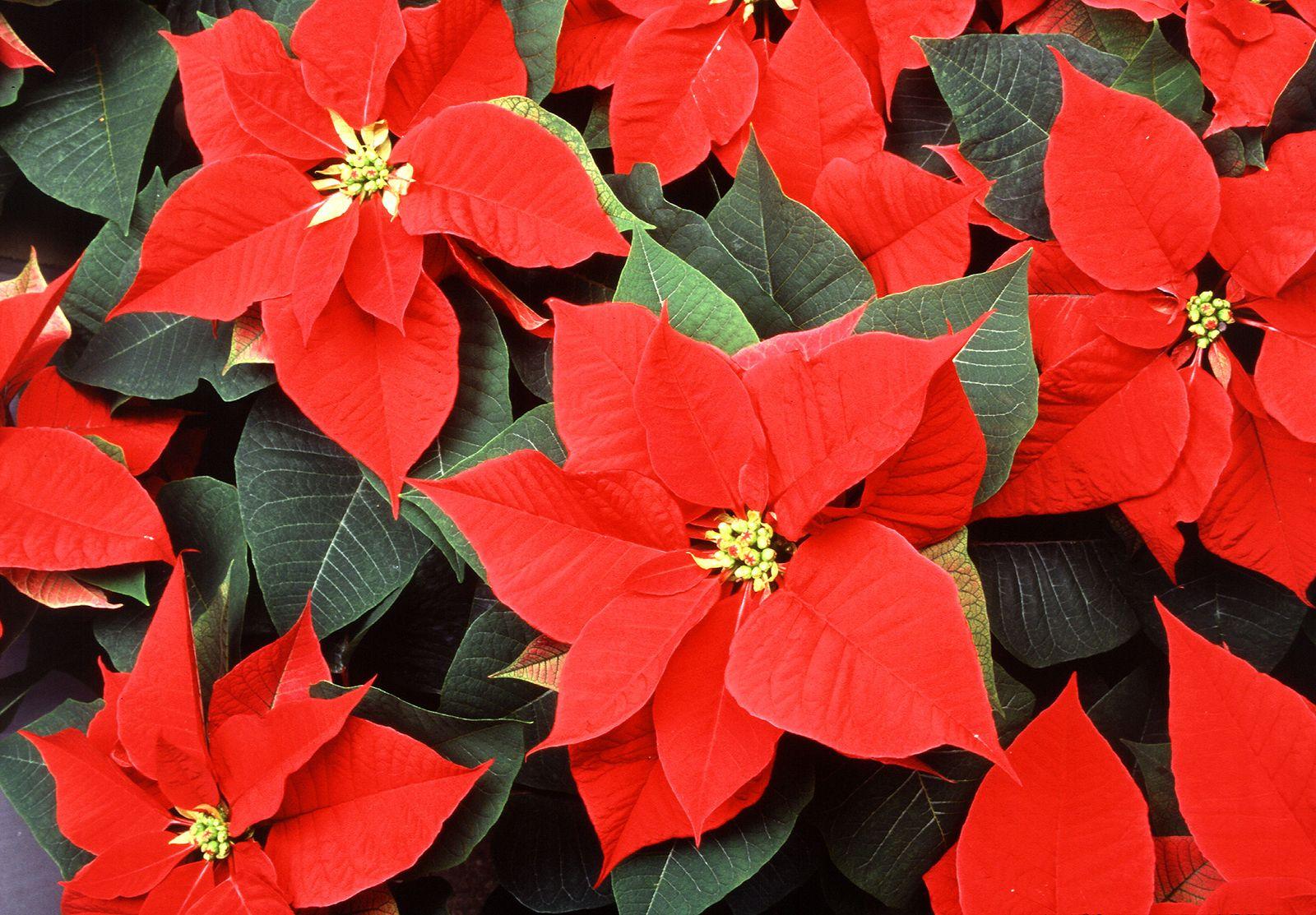 Google Image Result For Https Cdn Britannica Com 08 120808 050 33e15f55 Poinsettia Jpg Poinsettia Plant Christmas Plants Poinsettia