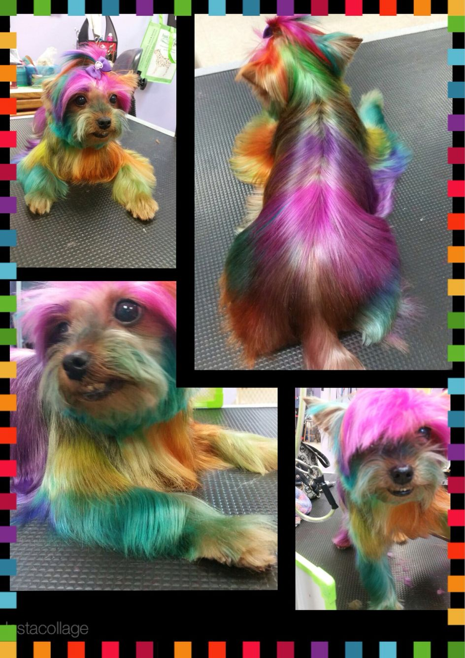 yorkie with hair dye color dog