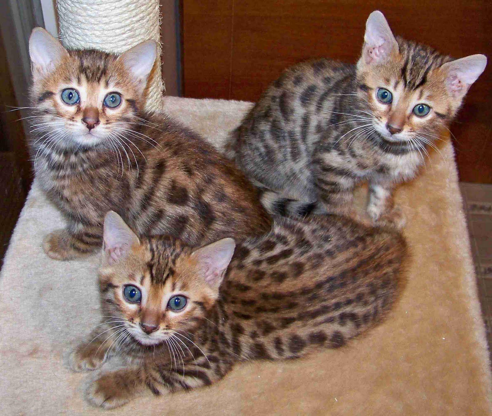 need, now. Bengal kitten!! <3