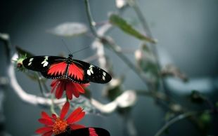 Red Black Butterfly Free Wallpaper and Wallpaper Background