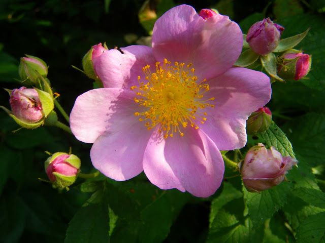 Prairie Wild Rose At World Peace Wetland Prairie With Images
