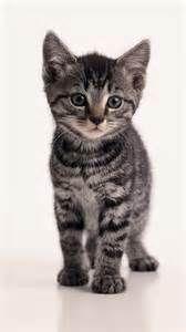 Tabby Kittens Dark Grey Tabby Cats Grey Tabby Kittens Tabby Cat