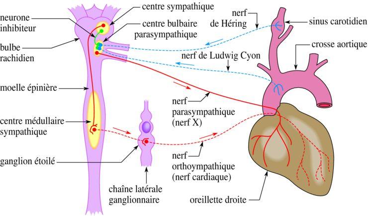 Coeur Anatomie Recherche Google Activite Cardiaque Cardiaque Anatomie Cardiaque