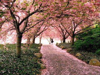 Endangered New Jersey Cherry Blossom Festival In Nj Cherry Blossom Festival Cherry Blossom Blossom