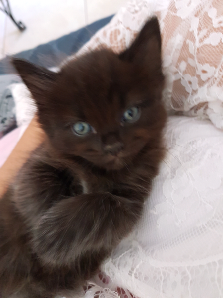 Https Www Gumtree Com Au S Ad Mansfield Cats Kittens Layanese Burmese X Kittens 1137801522 Cute Cats And Kittens Cats And Kittens Kittens
