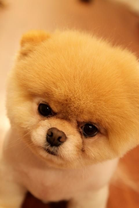 Who The Cuttest Doggy Ever Meeeee Cute Baby Animals Boo The