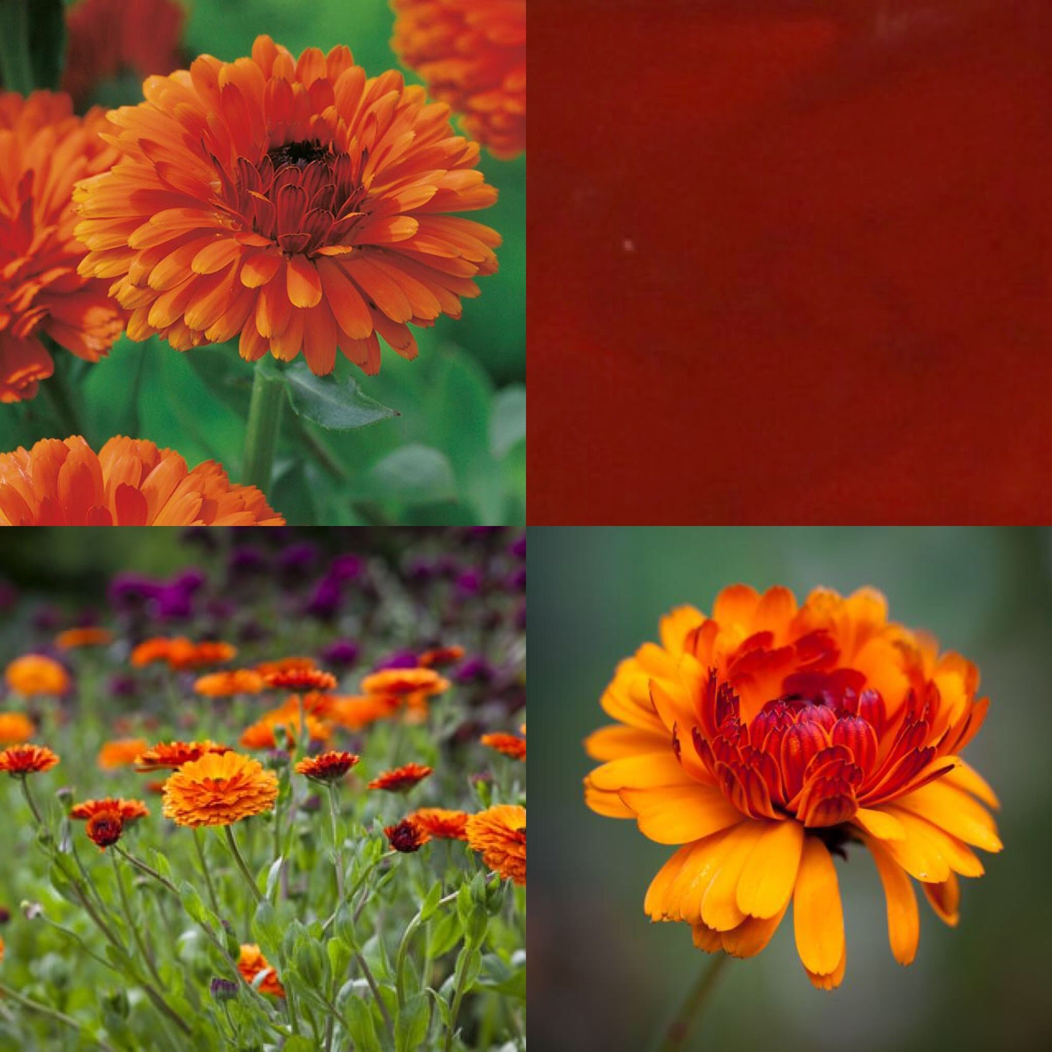 Calendula is such a beautiful, bright, sunny flower. Our