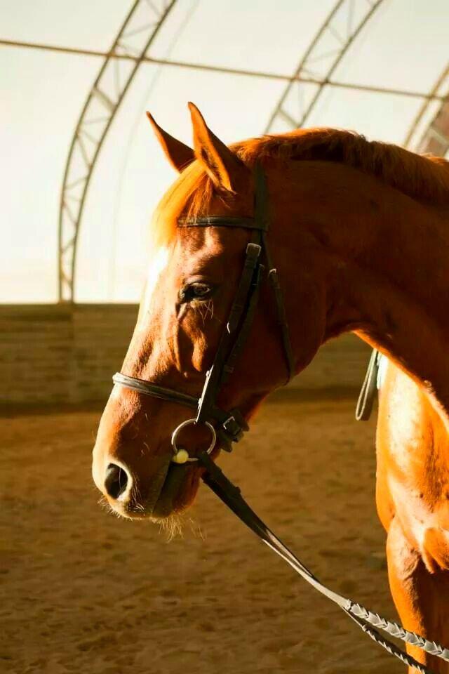 My gentle giant ♡   Gentle giant, Horses, Equestrian