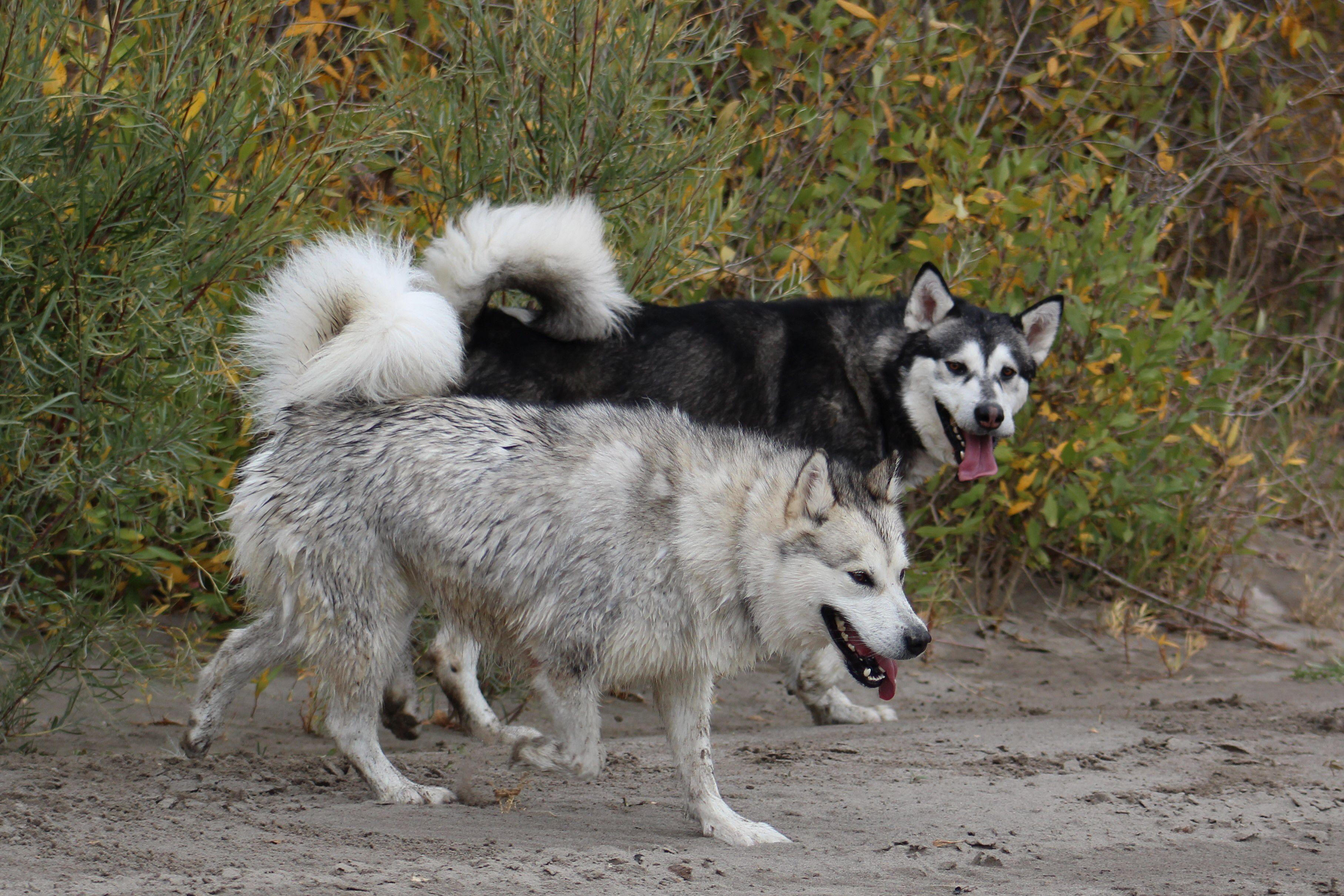 Malamutes Playing By River Alaskan Malamute Puppies Alaskan