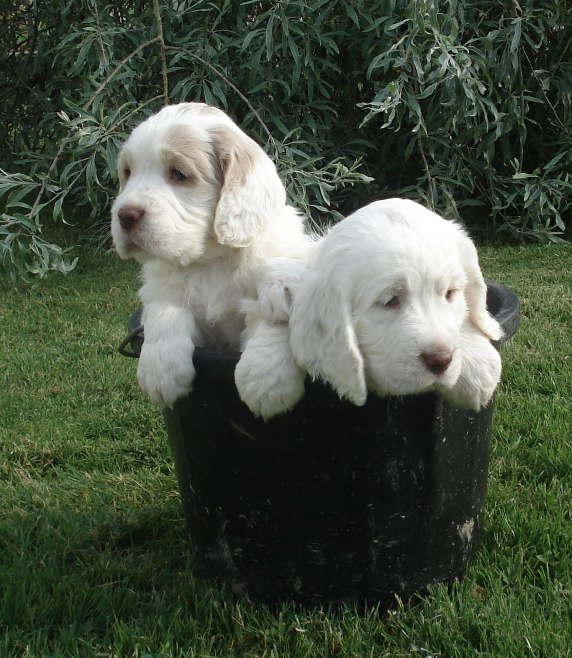 Clumber Spaniel Puppies Clumber Spaniel Clumber Puppies For Sale Breed Clumber Spaniel Puppy Clumber Spaniel Cute Cats And Dogs