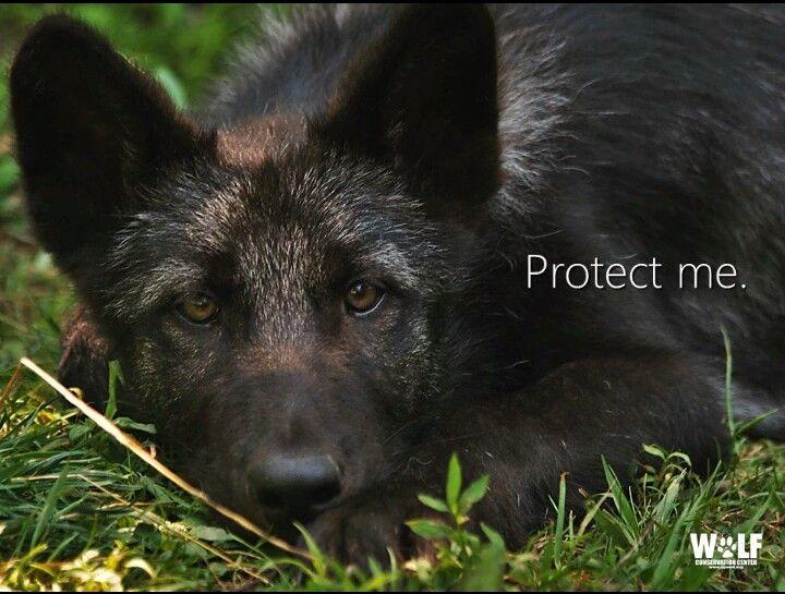 Oregon Endangered Wolves