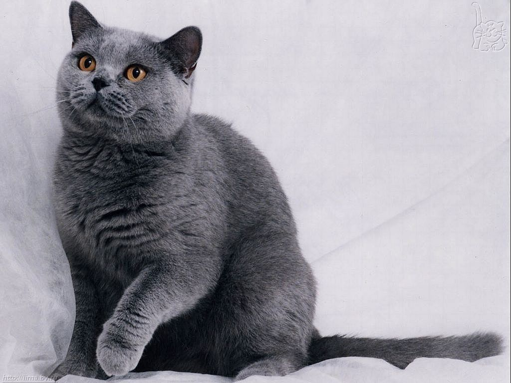 How Much Do Russian Blue Cats Cost Everything You Need To Know About How To Adopt A Cat Bringing Your New Cat Home Cat Health And Gatos Gatos Cinza Gatinhos