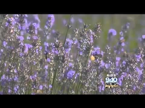 Hometown Tourist Lavender Hill Farm - YouTube