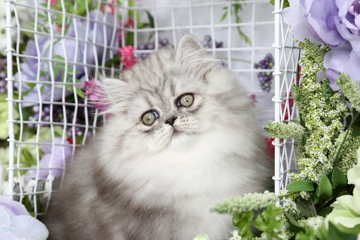 Gemstone Click Here Persian Kittens For Sale Persian Kittens Kittens