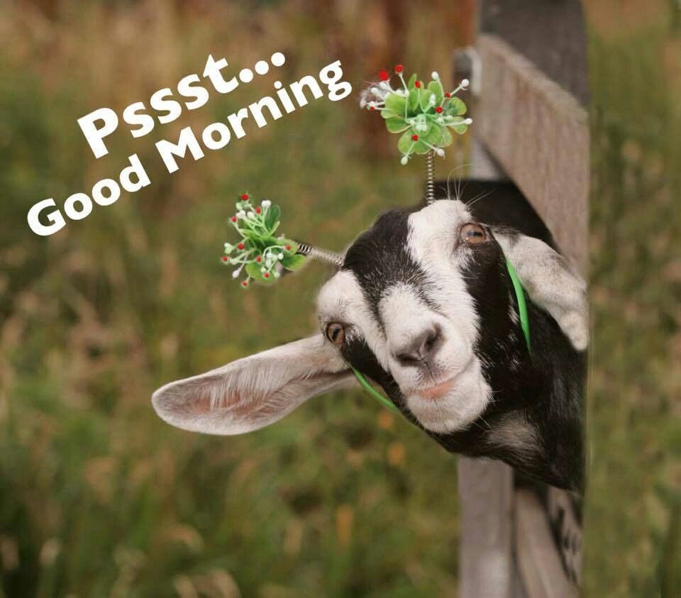 Good Morning Goats Funny Funny Goat Pictures Cute Goats