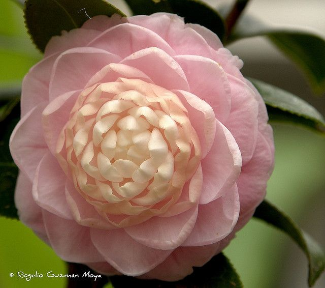 Camellia Japonica Rosa Camellia Flower Amazing Flowers Flowers Nature