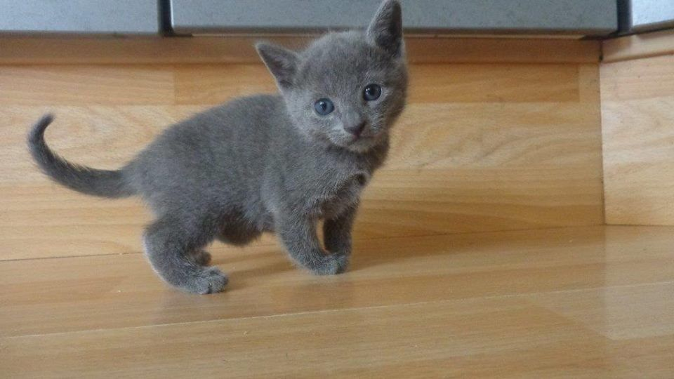 8 Week Old Kitten Has A Lot Of Growing To Do Russian Blue