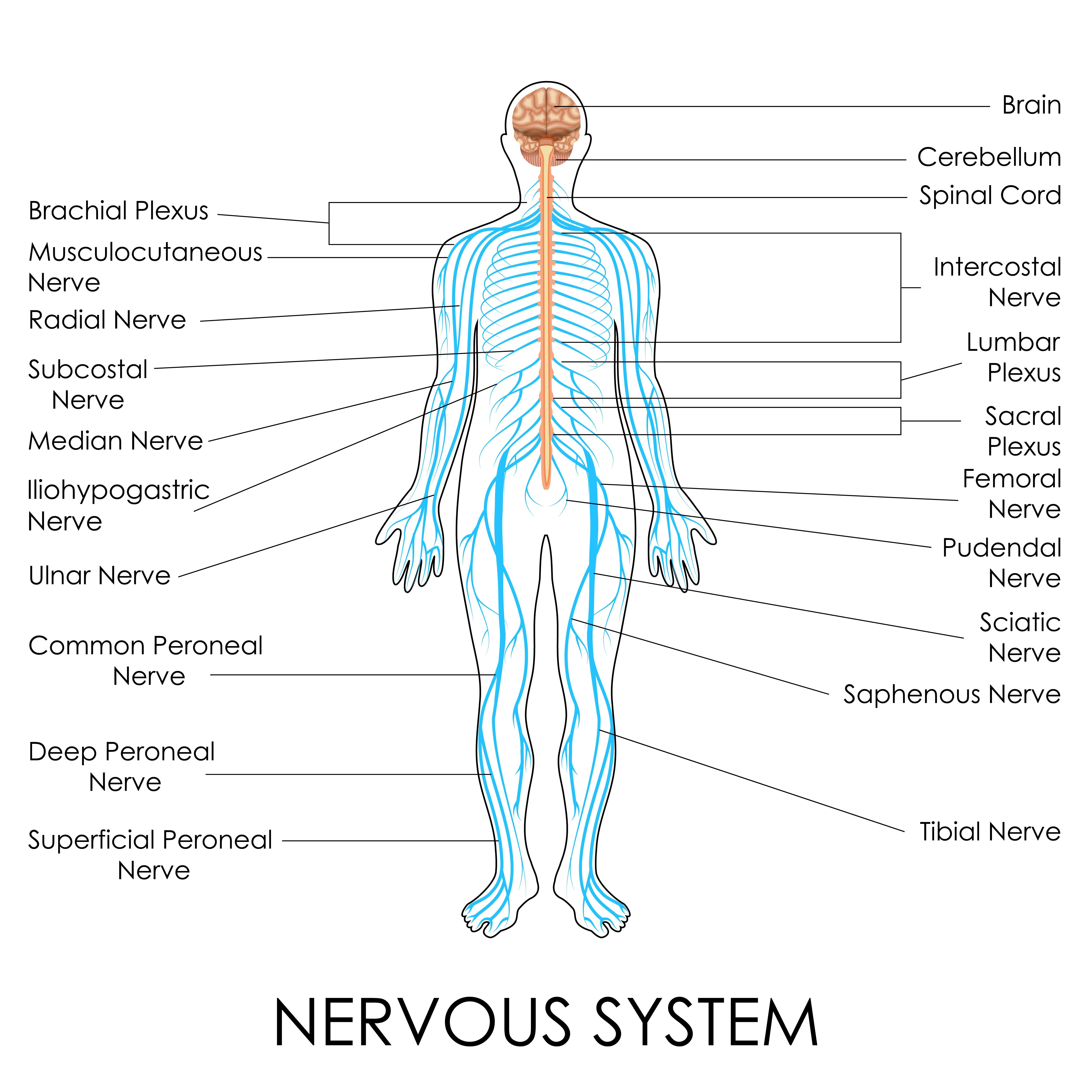 hight resolution of nerves of the body human anatomy diagram