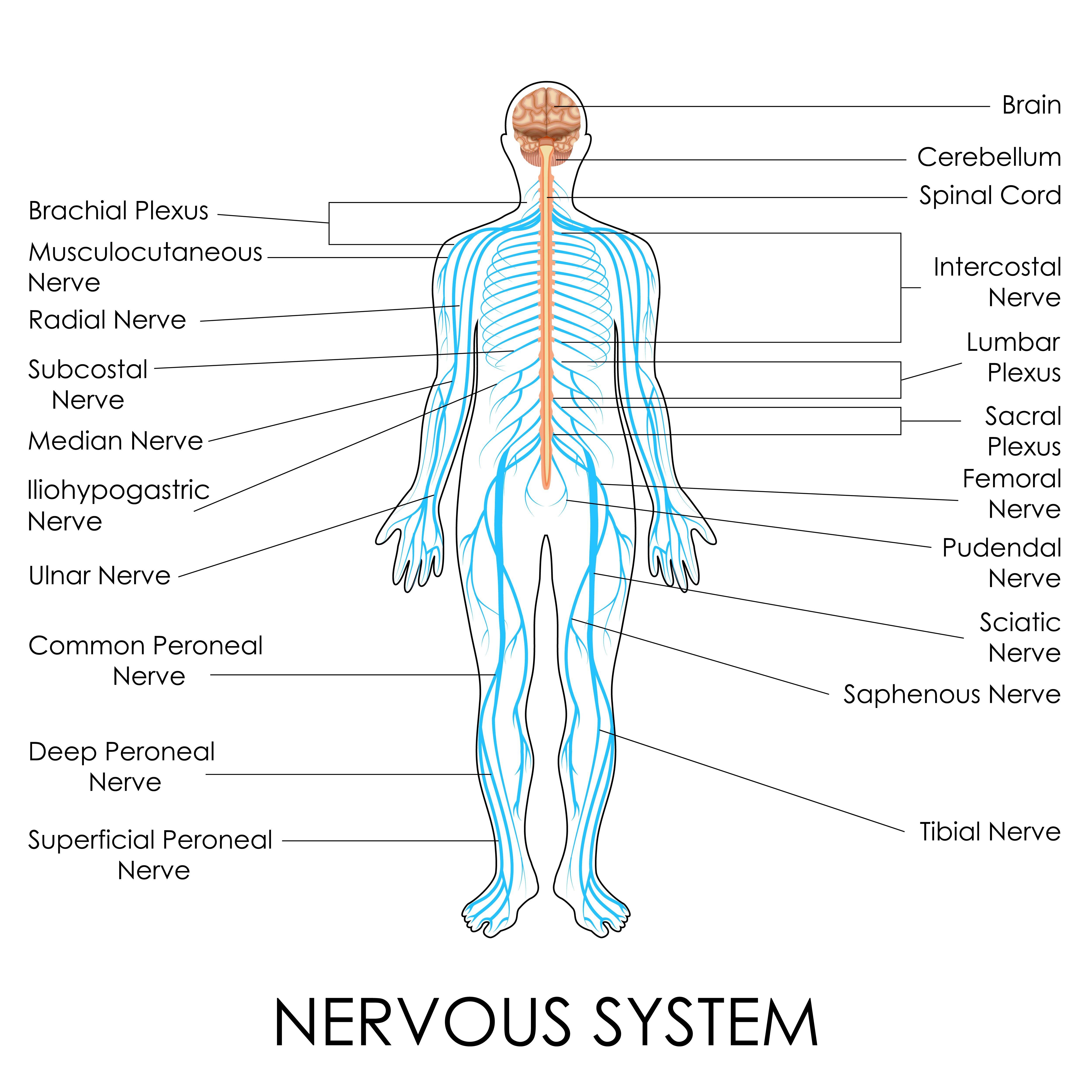 Nerves Of The Body Human Anatomy Diagram School Information Board