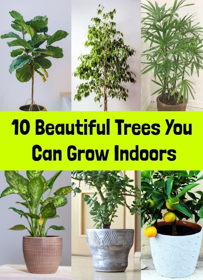 10 Beautiful Trees You Can Grow Indoors