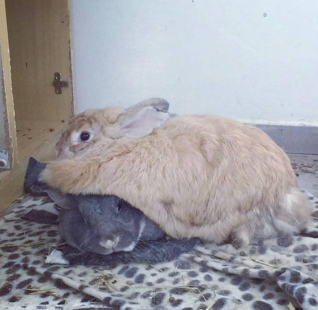 Aquele momento que você fica sem entender nada. Folgada é apelido.   #bunnies #rabbits by izyushi