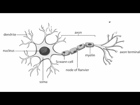 How To Draw Structure Of Neuron Neuron Diagram Labelled Diagram Of Neuron Neuron Cell Youtube Cell Diagram Neuron Diagram Nerve Cell