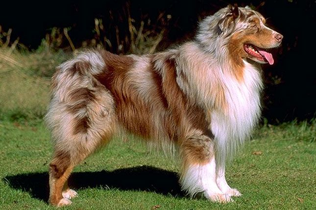 Find Australian Shepherd Puppies For Sale With Pictures From
