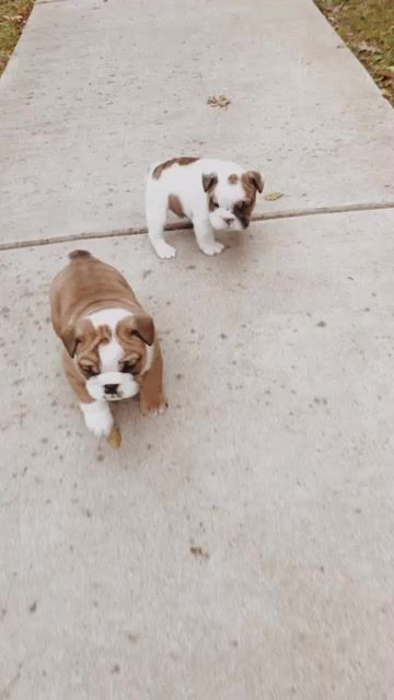 Blue Boston Terrier Puppies For Sale Google Search Boston